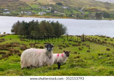 Sheep in Ireland - stock photo