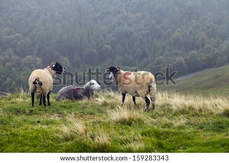Sheep in Lake District, UK - stock photo