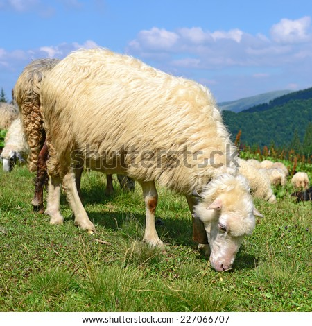 Sheep in mountains - stock photo