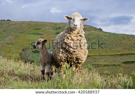 Sheep in mountains in valley near Huaraz, Peru - stock photo