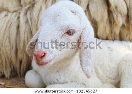 Sheep in the farm - stock photo