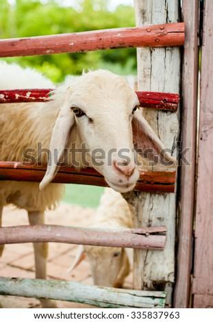 Sheep in the farm - stock photo