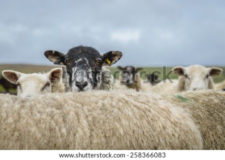 Sheep in the Yorkshire dales England countryside staring intently while hiding behind another sheep. - stock photo