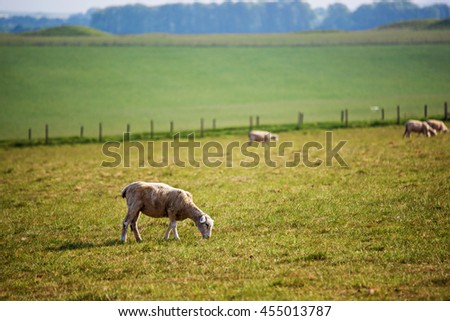 Sheep in valley in the Countryside at Stonehenge in Wiltshire in the the UK. Wiltshire is a county in South West England. It is famous for many valleys and downhills. - stock photo