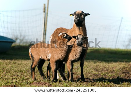 Sheep lambs - stock photo