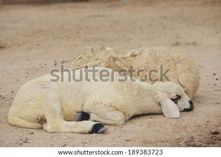 Sheep lay down - stock photo
