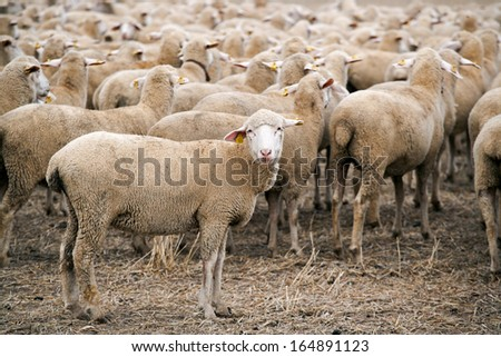 sheep looking at camera - stock photo