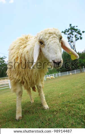 Sheep looking camera in farm with blue sky - stock photo