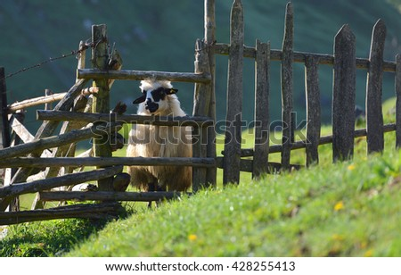 sheep looks out from behind a wooden farm fence. - stock photo