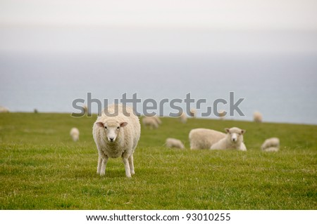Sheep near the sea, New Zealand - stock photo