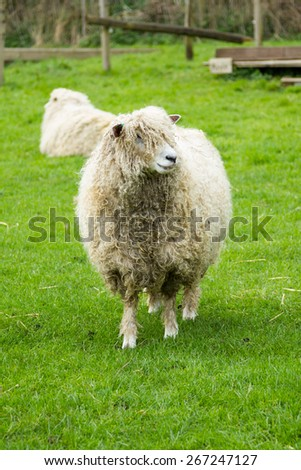Sheep of the Lincolnshire Long Wool breed happily grazing in a field in Somerset. Idyllic setting. - stock photo