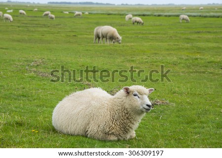 sheep on a meadow - stock photo