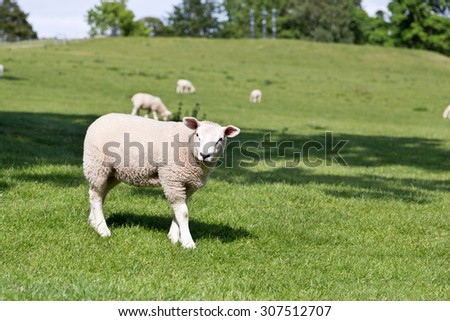 sheep on a pasture - stock photo