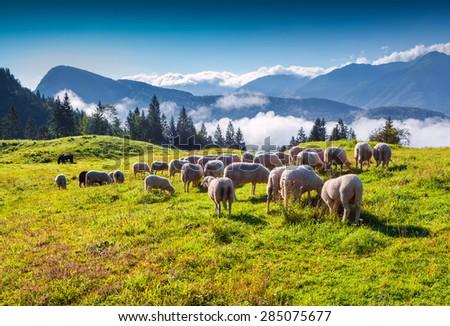 Sheep on alpine pasture in sunny summer day. Triglav National Park, Juliann Alps, Slovenia, Europe. - stock photo