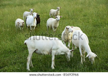 Sheep on family farm, Webster County, West Virginia, USA.  Sheep breed is Katahdin and Barbados Blackbelly mix. - stock photo