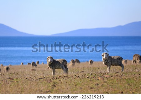 sheep on field with Beautiful Beach In South Australia - stock photo