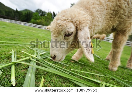 sheep on green grass - stock photo
