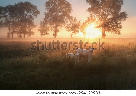 sheep on misty pasture at summer sunrise - stock photo