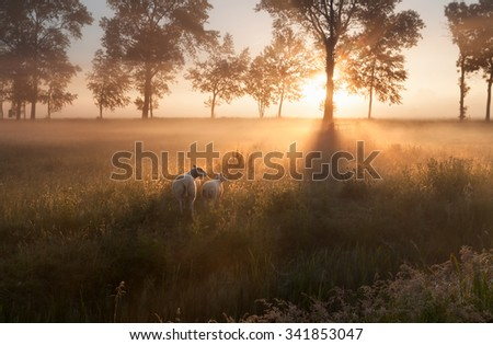 sheep on pasture at misty sunrise, Holland - stock photo