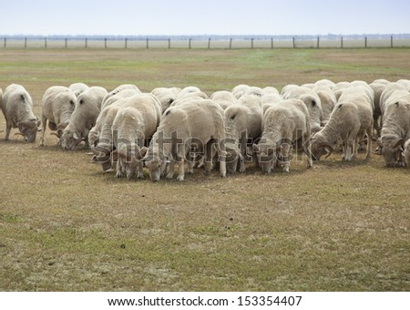 sheep on the field - stock photo