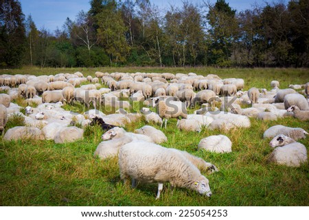 sheep on the  meadow. Sheep graze in the meadow. Herd of sheep - stock photo