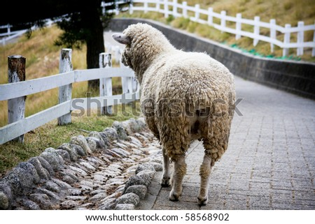 Sheep on the mountain pasture - stock photo