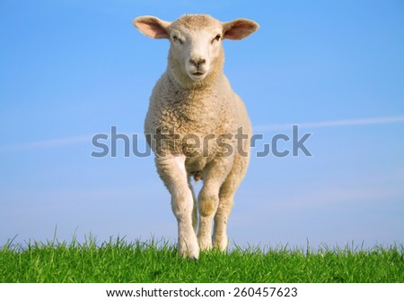 Sheep on the seawall - stock photo