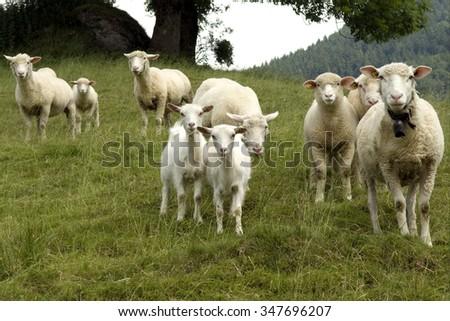 Sheep; Pets; Livestock; - stock photo