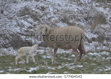 Sheep plays with her newborn lamb among the snowfields in the cold winter - stock photo