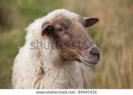 sheep portrait on a field - stock photo