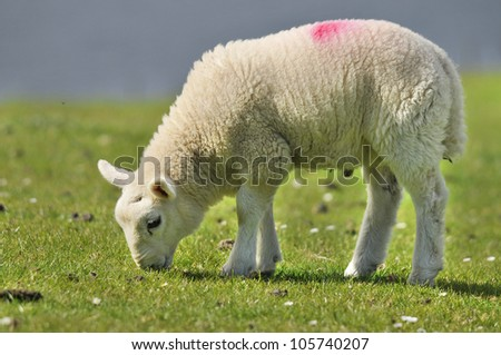 Sheep, Quirain, Isle of Skye, Scotland UK - stock photo