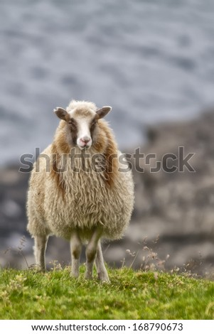 Sheep ram on the blue sea and grass background - stock photo