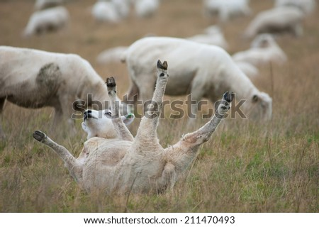 Sheep rolling on the ground - stock photo