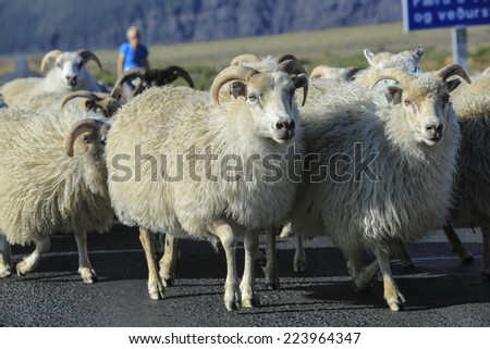 Sheep running down the road and drovers, Iceland - stock photo
