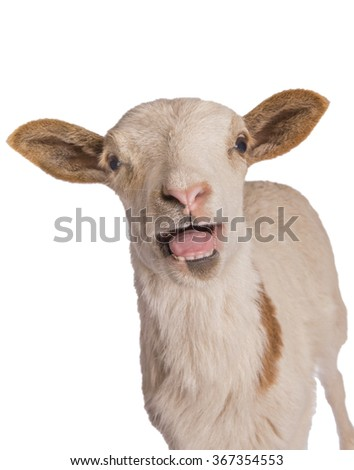 Sheep screaming with mouth open isolated - stock photo