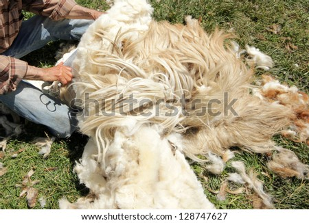 sheep shearing - stock photo