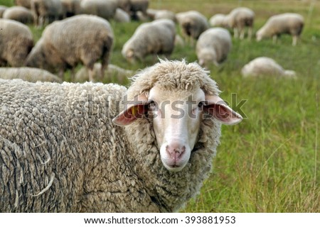 Sheep. Sheep in nature. Sheep on meadow. Sheep farming. Sheep farming outdoor. - stock photo
