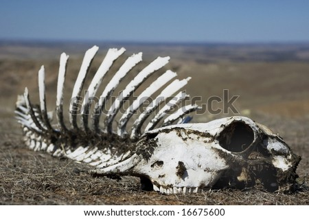 Sheep skull sitting in scrub with blue sky and horizon in background - stock photo