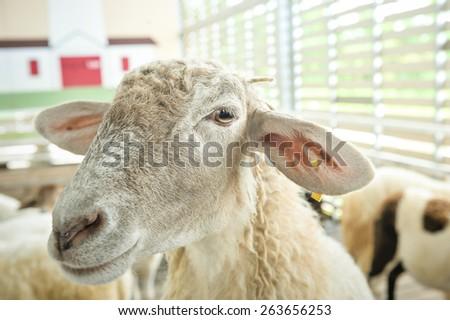 Sheep smile - stock photo