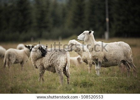 Sheep standing in long green grass on farm - selective focus - stock photo