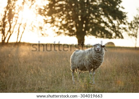 Sheep standing in the pasture during sunset. Blurred golden lights background. - stock photo