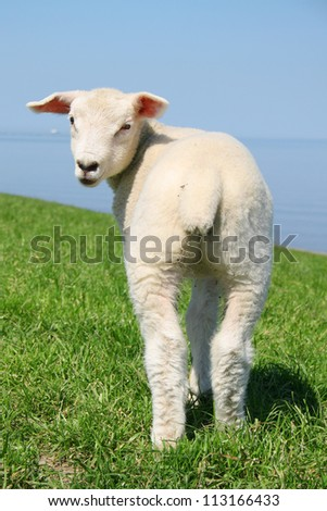 Sheep standing on seawall in north germany - stock photo
