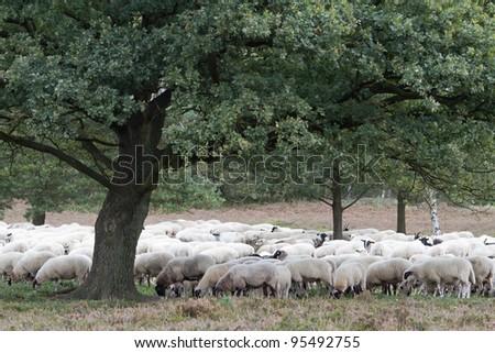 Sheep under a tree - stock photo