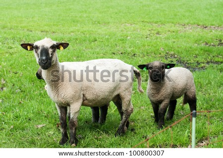 Sheep with baby sheep in a green field - stock photo