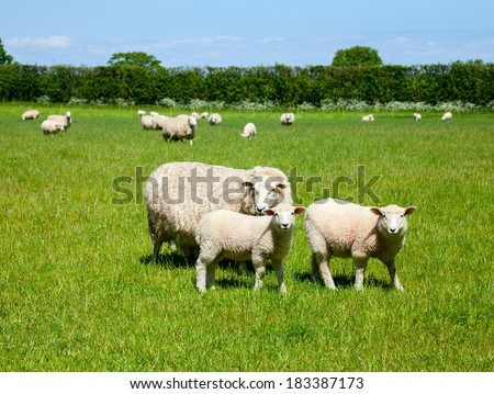 Sheep with lambs at a pasture in England - stock photo