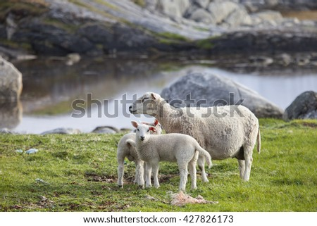 Sheep with lambs grazing in springtime.Northern Norway.Tromso - stock photo