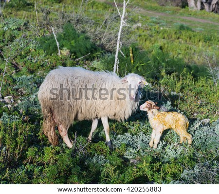 Sheep with newborn lamb, graze. The mother takes care of the baby, concept for all animals in the wild. - stock photo