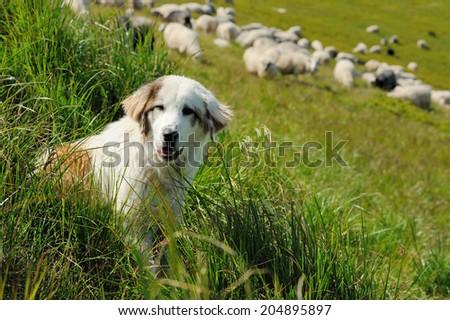Sheepdog guarding a flock of sheep herd - stock photo