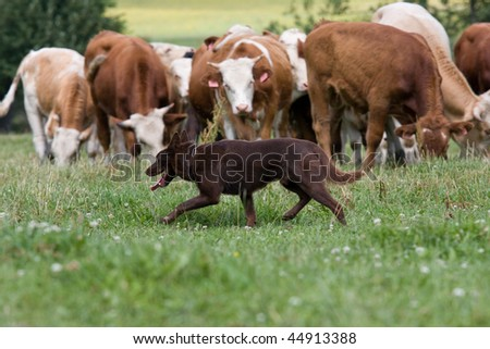 Sheepdog with cows - stock photo