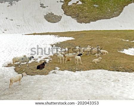 Sheeps alongside the Grossglocker High Alpine Road - stock photo
